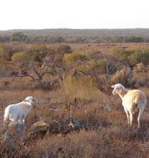 nonning pastoral white dorper sheep
